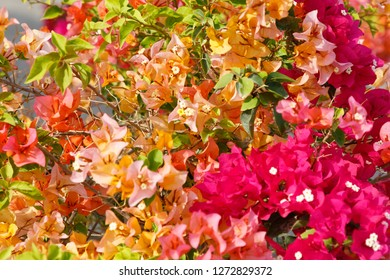 State of Qatar. Doha. Bougainvillea glabra Choisy, Gouhanamiya, paperflower. Bright fushia color, bright pink and orange.