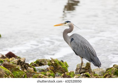 A stately Great Blue Heron (Ardea herodias) stands on a seaweed covered shoreline in Seabeck, Washington. Herons gather here to hunt for fish in shallow water at low tide.