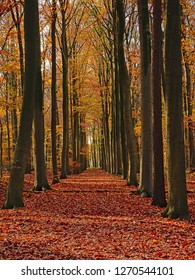 Stately lane of tall colorful aun trees in `Makegemse bossen` forest in the Flemish countryside