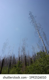 Stately view of trees of charred trees reclaiming the Gila Natio