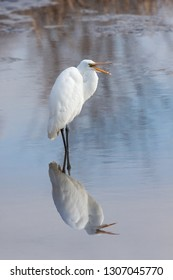 A statuesque great erget reflects its elegant  white plumage in a shallow pond. It opens its beak to scream in an attempt scare invaders away from its territory.