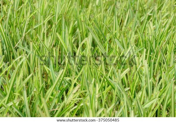 Staugustine Grass Stock Photo (Edit Now) 375050485
