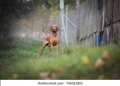 Staying hungarian pointer hound dog