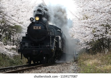 Steam locomotive tow passenger train passing through the cherry blossom tunnel in Oi River in Shizuoka prefecture, Japan