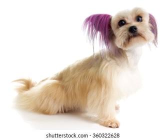 Steamed Punk Maltipoo, a designer toy dog breed