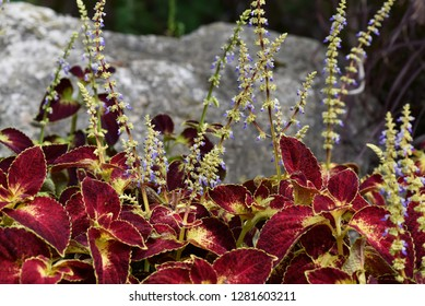 Steams of Coleus (Solenostemon) with tiny blue flowers and colorful foliage combinations and leaf patterns