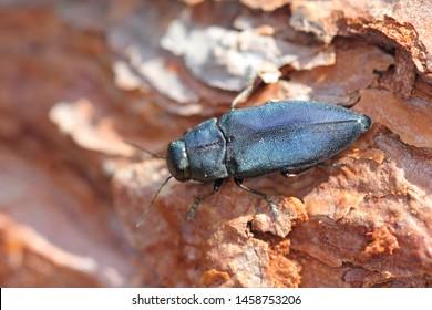 Pine Beetle Images, Stock Photos & Vectors | Shutterstock