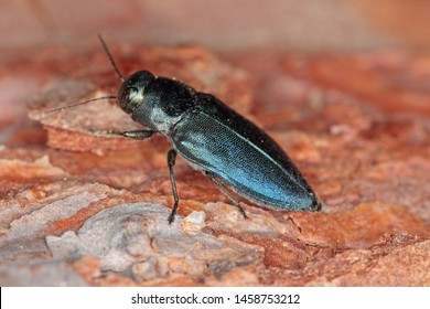 Steelblue jewel beetle Phaenops cyanea on pine bark. It is a pest of pines from the family Buprestidae known as jewel beetles or metallic wood-boring beetles.