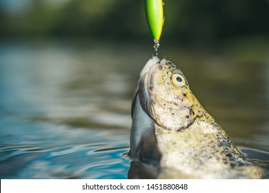 Steelhead rainbow trout. Fish head and fishing hook. Brown trout being caught in fishing net. Holding brown trout. Fisherman and trophy trout