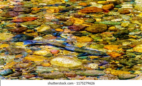 Steelhead Salmon, also sometimes called Steelhead Trout, swimming upstream in early September in the Coldwater River near the settlement of Brookmere in the Nicola Region of British Columbia, Canada