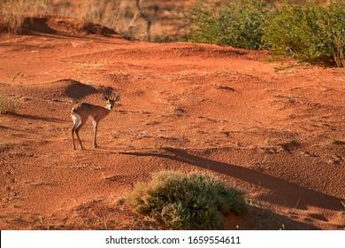 Steenbok, Raphicerus campestris, antelope in Kalahari, looking directly at camera. Small antelope on red sand of Kgalagadi desert. Steenbok on red dune. Kgalagadi transfrontier park, South Africa.