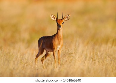 Steenbok, Raphicerus campestris, sunset evening light, grassy nature habitat, Kgalagadi, Botswana.  Wildlife scene from nature. Animal on the meadow. Deer in the wild Africa.