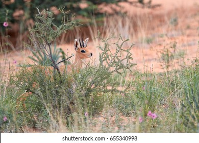 Steenbok, Raphicerus campestris, wild animal in Kalahari, behind bushes. Small antelope on red sand of Kgalagadi. Steenbok on red dune. Kgalagadi transfrontier park, South Africa.