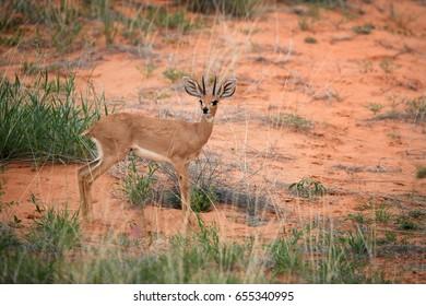 Steenbok, Raphicerus campestris, wild antelope in Kalahari, looking directly at camera. Small antelope on red sand of Kgalagadi. Steenbok on red dune. Kgalagadi transfrontier park, South Africa.
