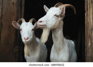 Steep goats