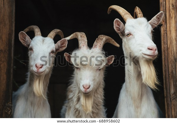 Steep goats,three goats on a dark background, goat