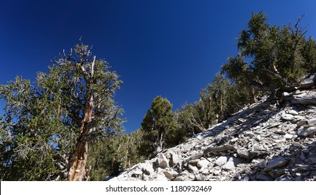 A steep, rocky slope is home to ancient Great Basin Bristlecone Pine trees, which grow in extreme conditions where nothing else can live at high altitudes in the White Mountains of California.