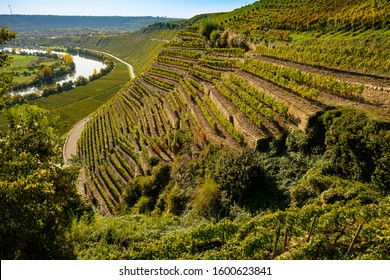 Steep slope vineyard in Germany with river Neckar