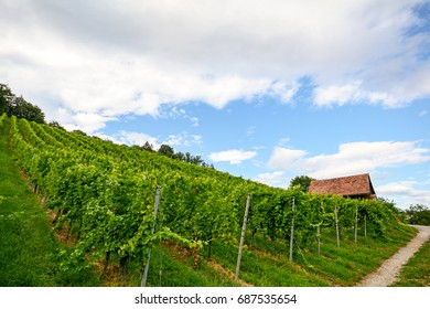 Steep vineyard next to a walkway with old hut near a winery in the tuscany wine growing area, Italy Europe