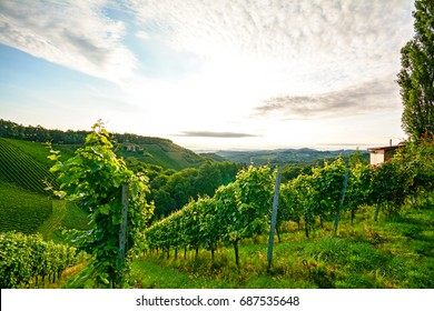 Steep vineyard with white wine grapes near a winery in the tuscany wine growing area, Italy Europe