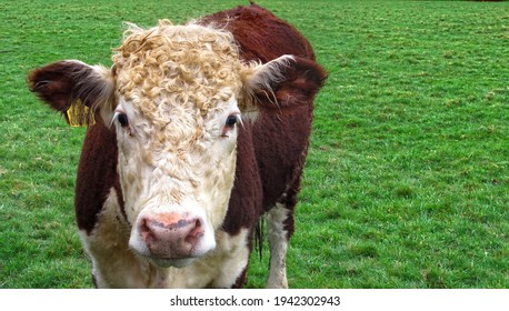 Steer, also called bullock, young neutered male cattle primarily raised for beef