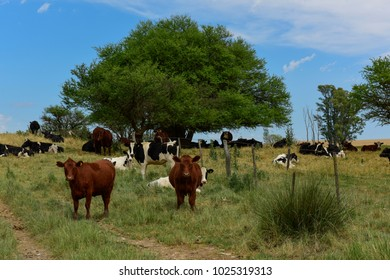 Steers fed on pasture, La Pampa, Argentina