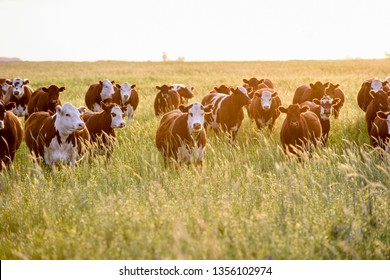 Steers and heifers raised with natural grass, Argentine meat production