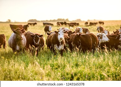 Steers looking at the camera, Pampas, Argentina