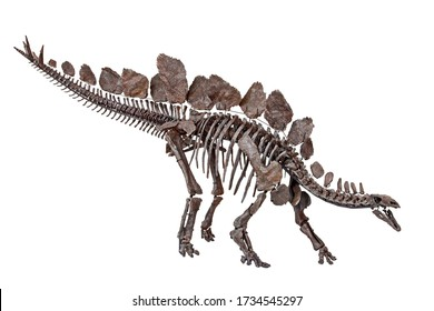 Stegosaurus stenops Dinosaur skeleton with white background