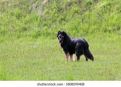 Stehender Hund mit natürlichem Hintergrund.