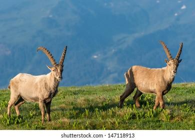 Steinbock - Alpine Ibex