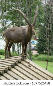 Steinbock standing on the top of a roof in Animalier Parc d'Introd, Aosta Valley (Italy)