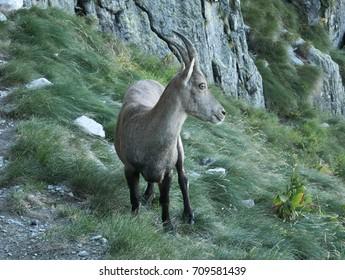 Steinbock walks on the rocks on the Bergamo Alps, northern Italy