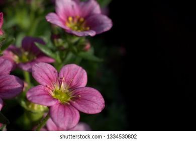 Steinbrech flower in the spring garden smiles on the sun