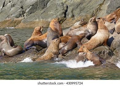 Stellar Sea Lions Crowding on a Rock in Prince William Sound near Valdez, Alaska