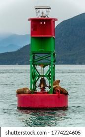 Stellar Seal Lions resting on a buoy in Auke Bay, Juneau Alaska.