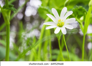 Stellaria forest lanceolate, with white buds, herbaceous perennial plant, genus of the clove