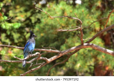 Stellar's Jay sitting on a branch in the mountains