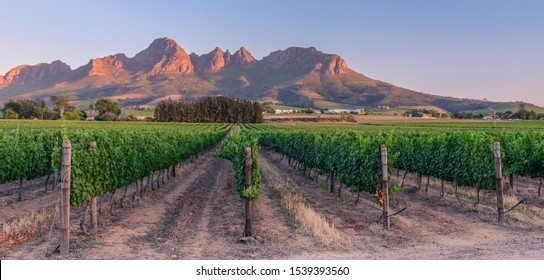 Stellenbosch, Cape Town, South Africa - December 9, 2017: View of vineyard fields at sunset, around the village of Stellenbosch, with the mountains in the background and a cloudless sky