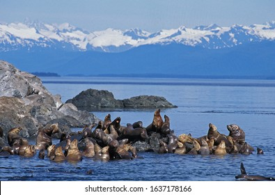 STELLER SEA LION eumetopias jubata, GROUP STANDING ON ROCKS, ALASKA