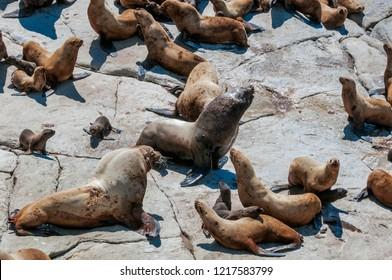 Steller Sea Lion (Eumetopias jubatus) at colony, Chowiet Island, Semidi Islands, Alaska, USA
