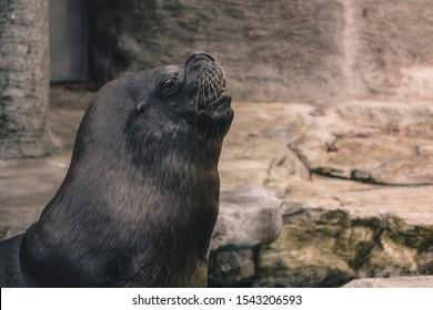 The Steller sea lion (Eumetopias jubatus), also known as the northern sea lion and Steller's sea lion