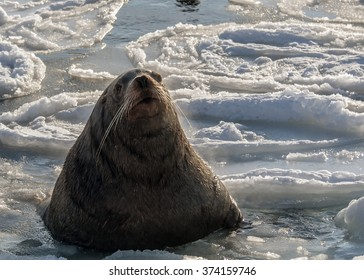 Steller sea lion swims in the icy sea