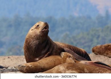 steller sea lion taken in Vancouver Island, Canada