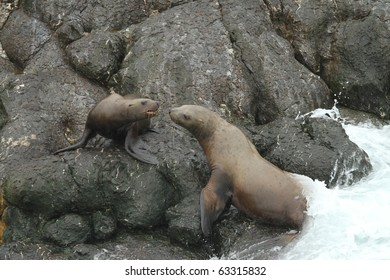 Steller Sea Lions - Alaska (mother with pup)
