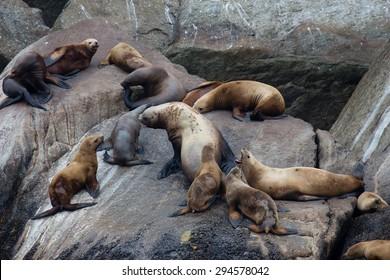 Steller sea lions arguing