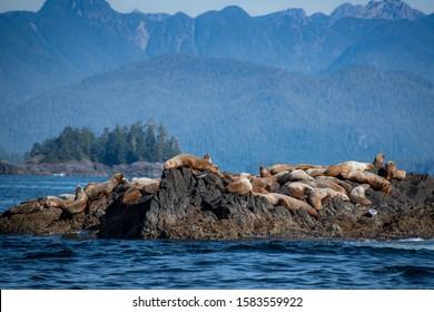 Steller Sea Lions in British Columbia, Canada