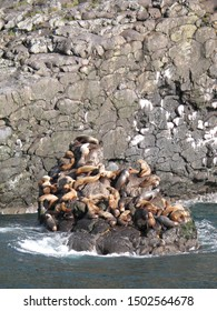 Steller sea lions gathering and lounge on rocky outcrops at a Haul-Out in between feeding excursions into the ocean.  Kenai Fjords National Park, Alaska.