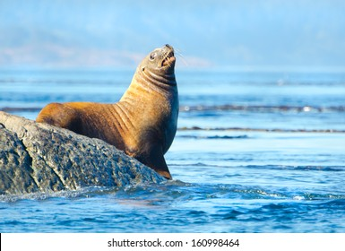Steller Sea Lions Resting on rock, Race Rock Marine Reserve, Vancouver Island, Canada