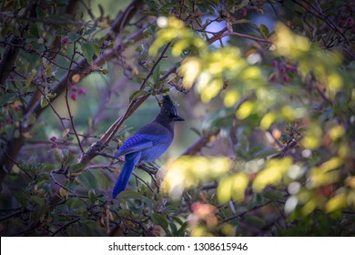 Steller's Blue Jay sitting on a branch in the leaves of a tree - Big Bear California
